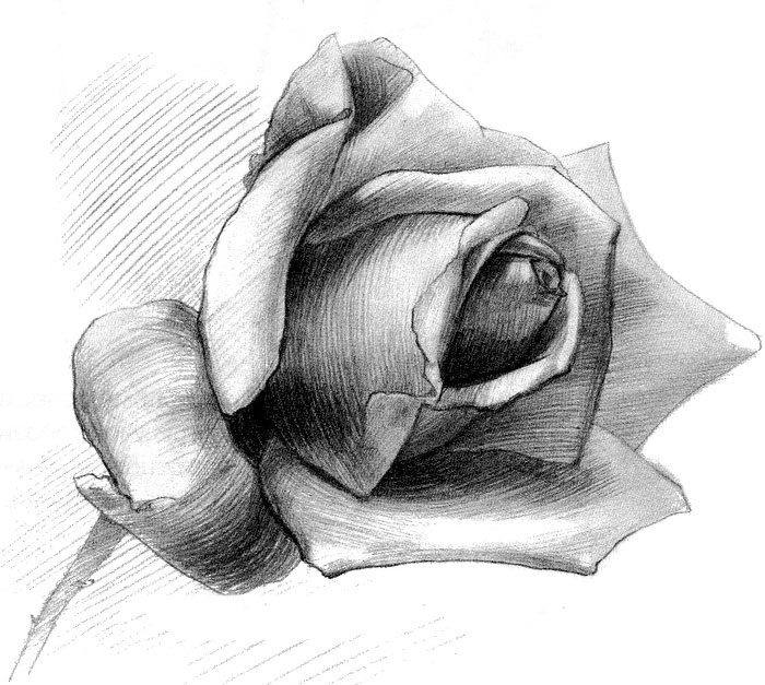 картинка карандашом роза