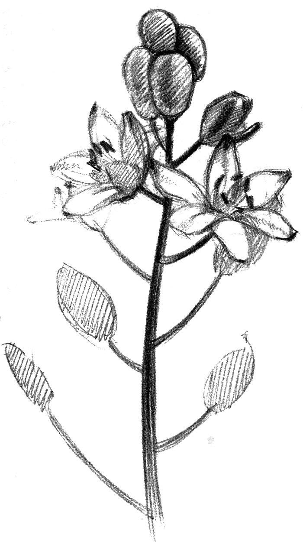 картинки карандашом цветы: